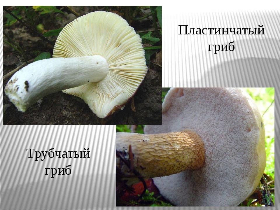 Пластинчатый гриб Трубчатый гриб