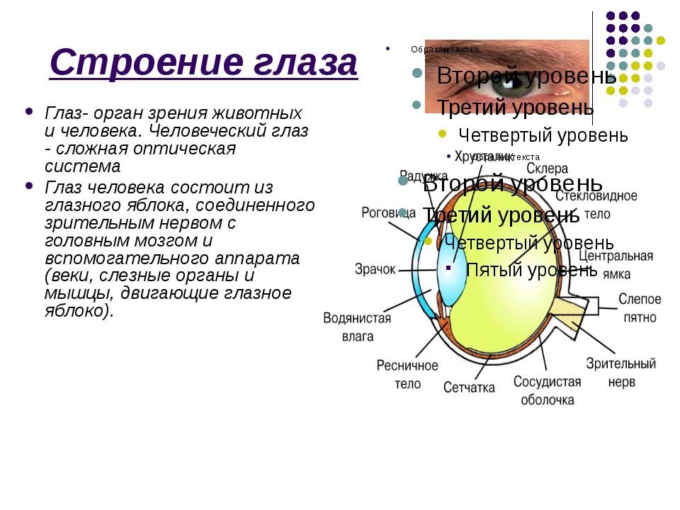 Строение глаза Глаз- орган зрения животных и человека. Человеческий глаз - с...
