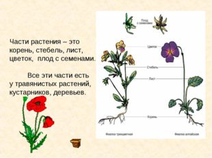 Части растения – это корень, стебель, лист, цветок, плод с семенами. Все эти
