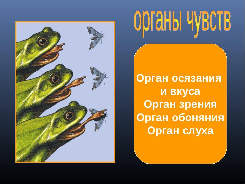Орган осязания и вкуса Орган зрения Орган обоняния Орган слуха