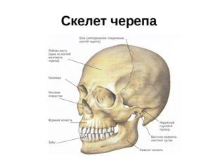 Скелет черепа