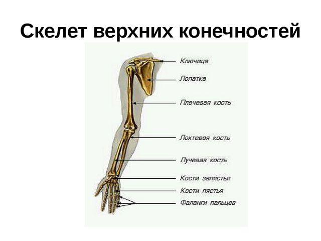 Скелет верхних конечностей