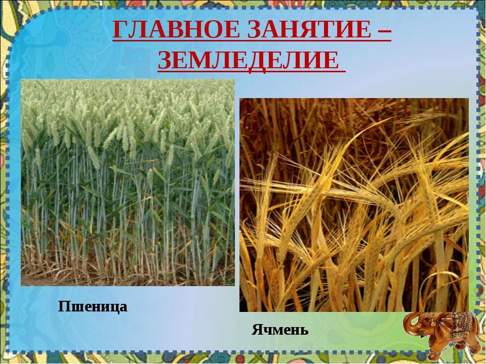 ГЛАВНОЕ ЗАНЯТИЕ – ЗЕМЛЕДЕЛИЕ Пшеница Ячмень