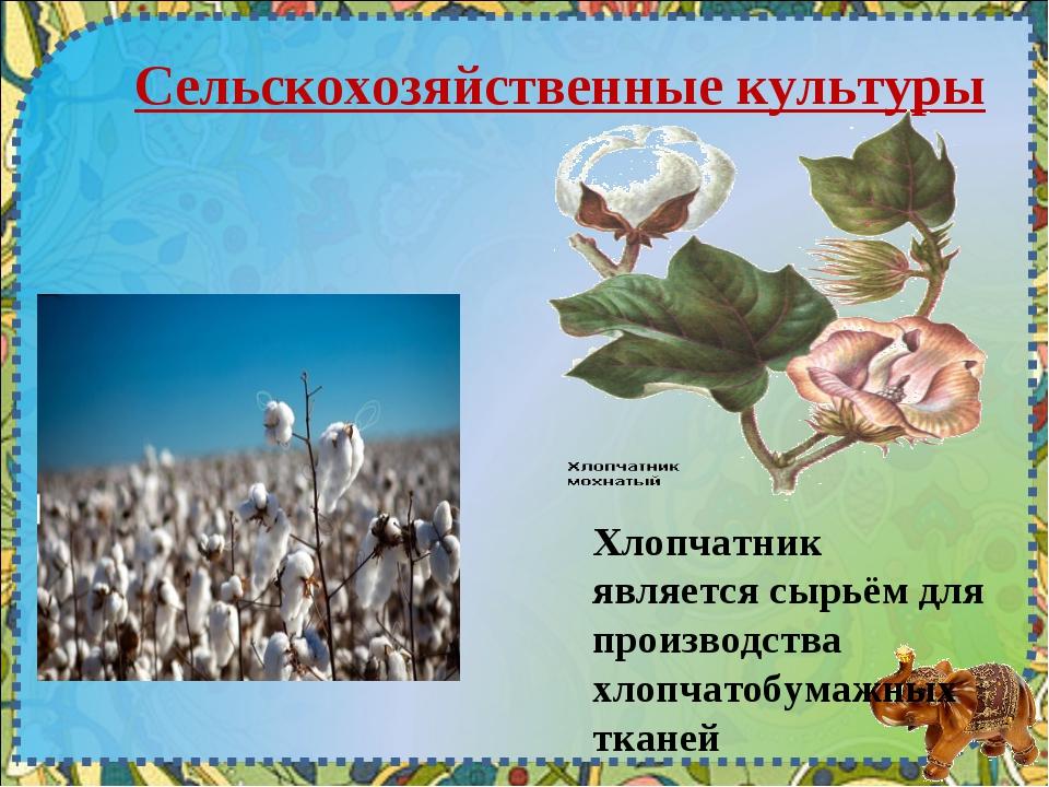 Сельскохозяйственные культуры Хлопчатник является сырьём для производства хло...