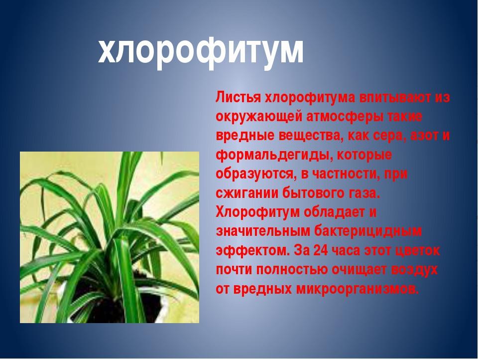 Листья хлорофитума впитывают из окружающей атмосферы такие вредные вещества,...