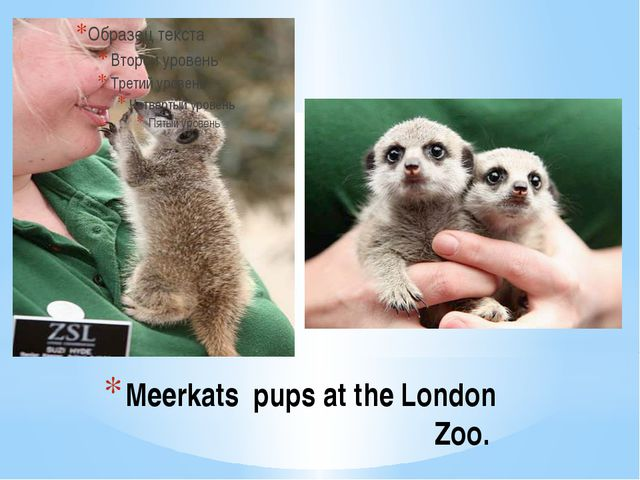 Meerkats pups at the London Zoo.