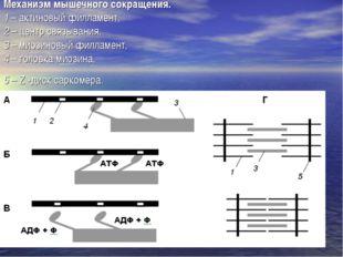 Механизм мышечного сокращения. 1 – актиновый филламент, 2 – центр связывания,