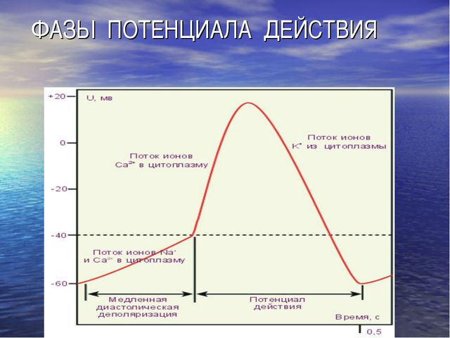 ФАЗЫ ПОТЕНЦИАЛА ДЕЙСТВИЯ