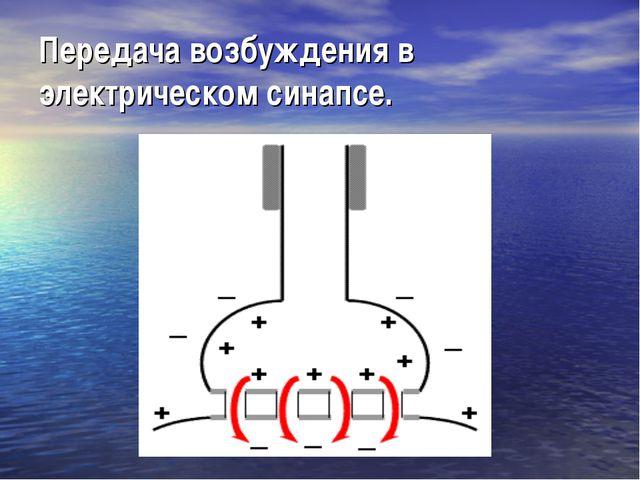 Передача возбуждения в электрическом синапсе.