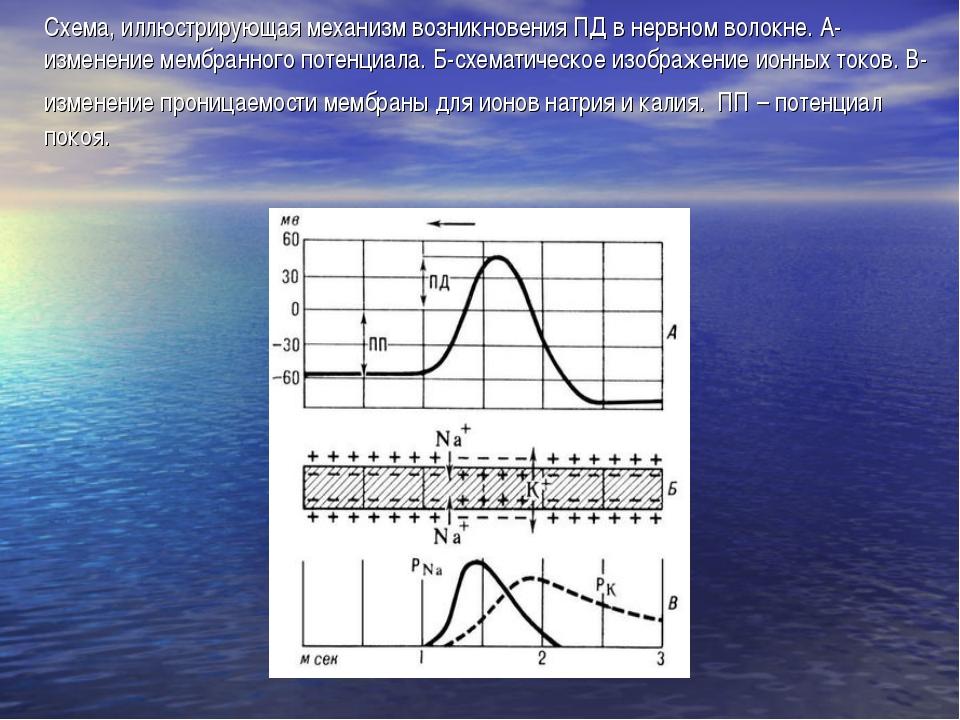 Схема, иллюстрирующая механизм возникновения ПД в нервном волокне. А-изменени...
