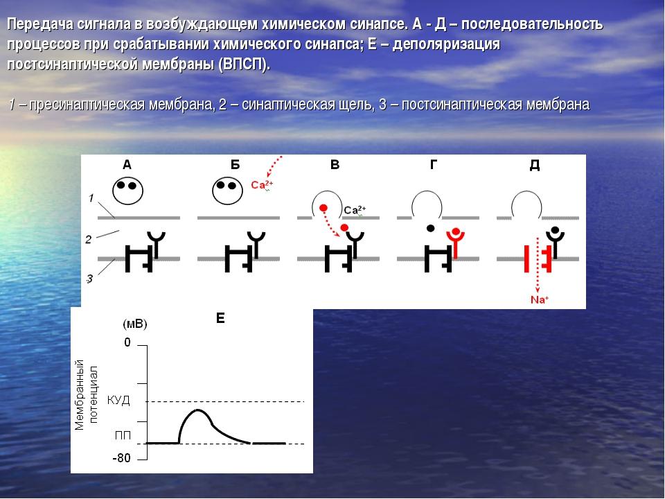Передача сигнала в возбуждающем химическом синапсе. А - Д – последовательност...
