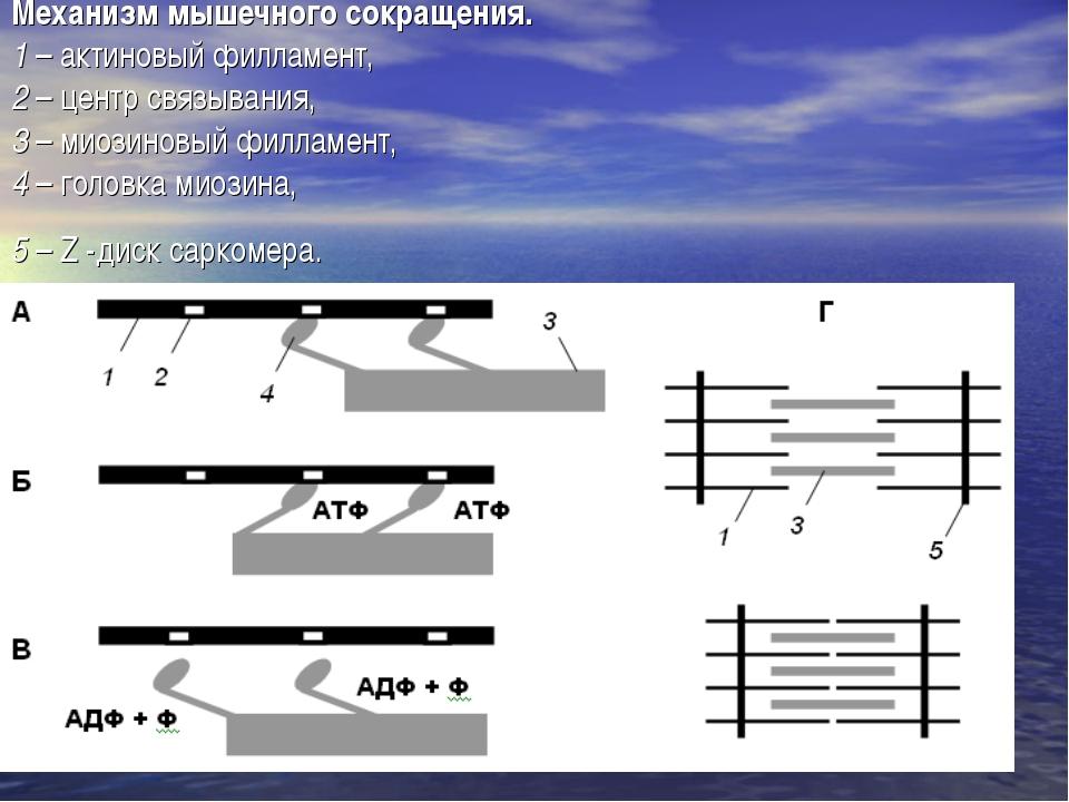 Механизм мышечного сокращения. 1 – актиновый филламент, 2 – центр связывания,...