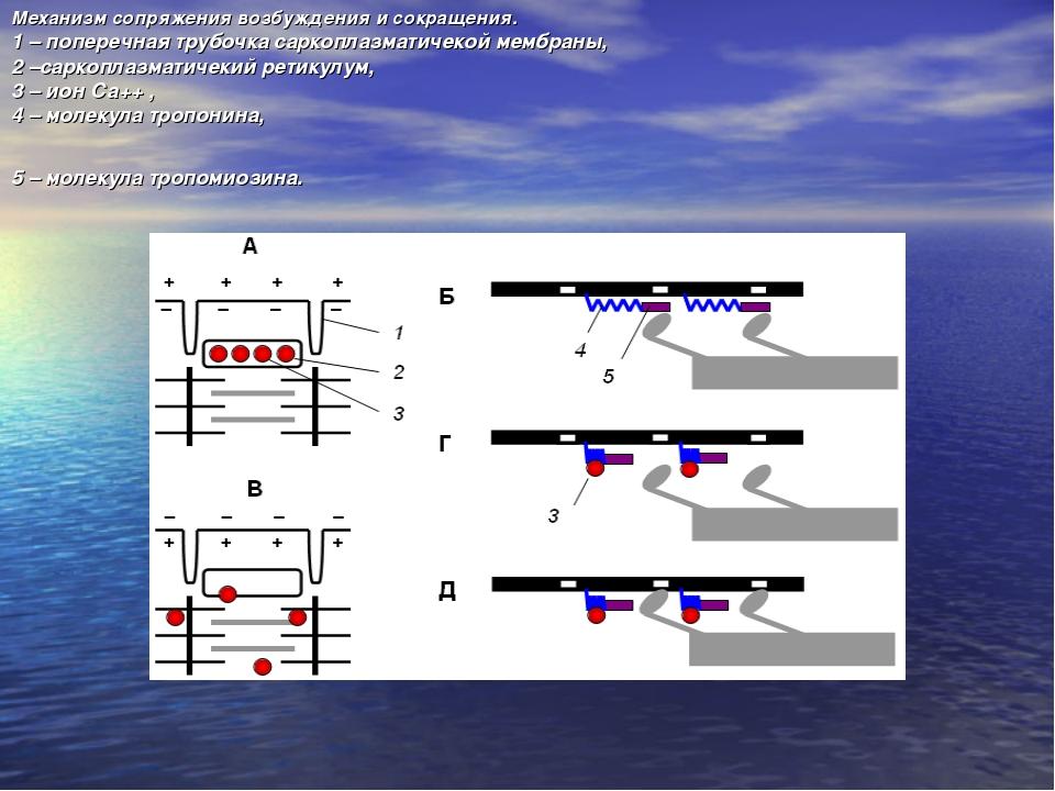 Механизм сопряжения возбуждения и сокращения. 1 – поперечная трубочка саркопл...