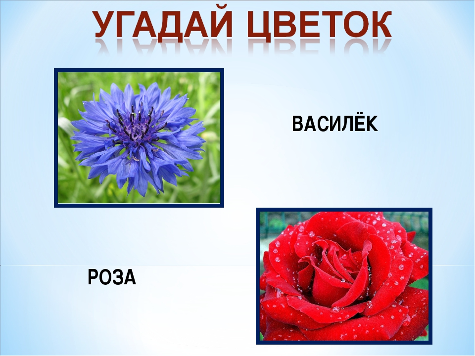 ВАСИЛЁК РОЗА