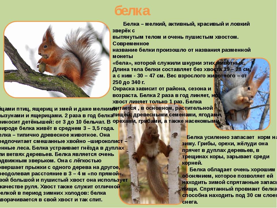 белка Белка – мелкий, активный, красивый и ловкий зверёк с вытянутым телом и...