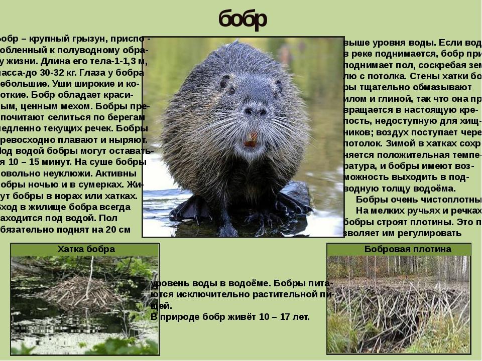 бобр Бобр – крупный грызун, приспо - собленный к полуводному обра- зу жизни....