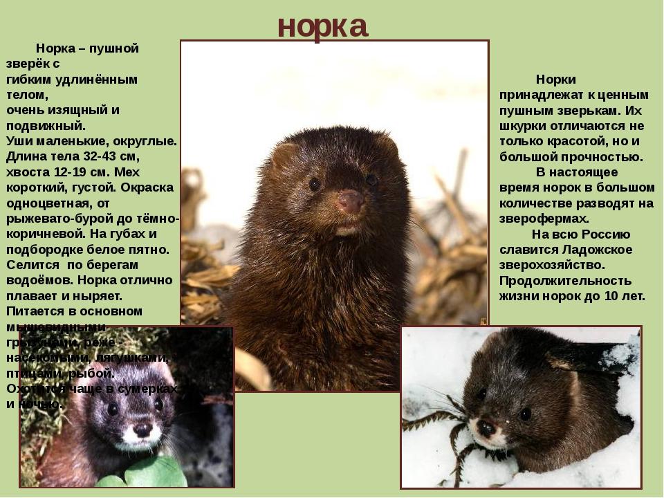 норка Норка – пушной зверёк с гибким удлинённым телом, очень изящный и подвиж...