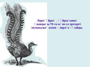 Лироқұйрық . Құйрығының ұзындығы 70 см және ол ертедегі музыкалық аспап – лир