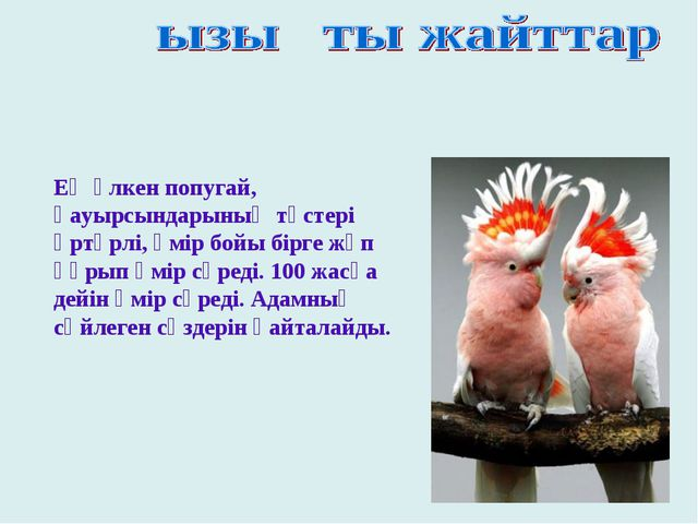 Ең үлкен попугай, қауырсындарының түстері әртүрлі, өмір бойы бірге жұп құрып...