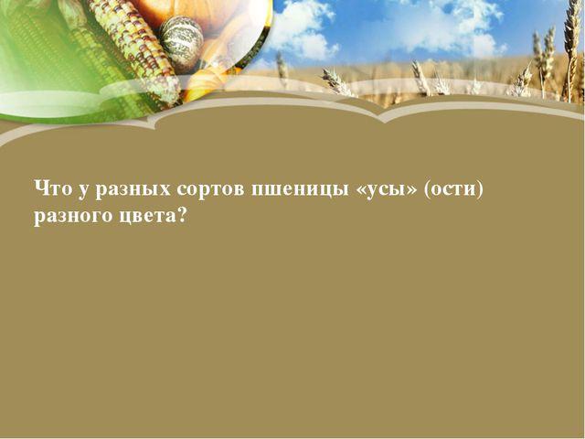 Что у разных сортов пшеницы «усы» (ости) разного цвета?