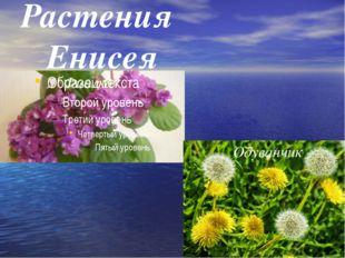 Растения Енисея Фиалка Одуванчик