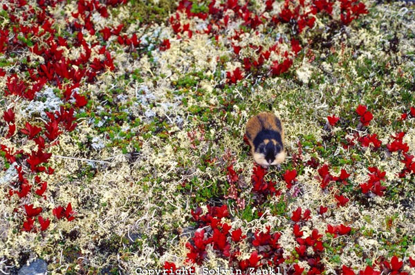 http://elementy.ru/images/news/lemmus_lemmus_in_autumn_tundra_600.jpg