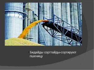 Бидайды сорттайды-сортируют пшеницу