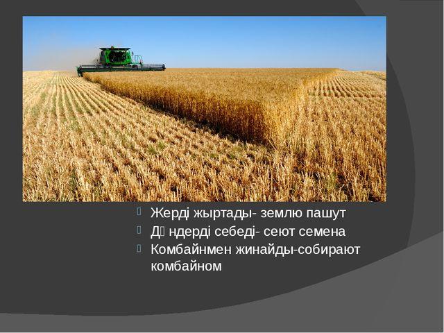 Жерді жыртады- землю пашут Дәндерді себеді- сеют семена Комбайнмен жинайды-с...
