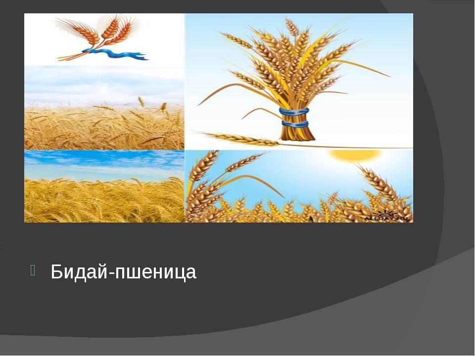 Бидай-пшеница