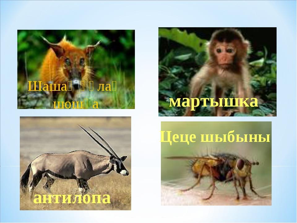 Шашақ құлақ шошқа мартышка Цеце шыбыны антилопа