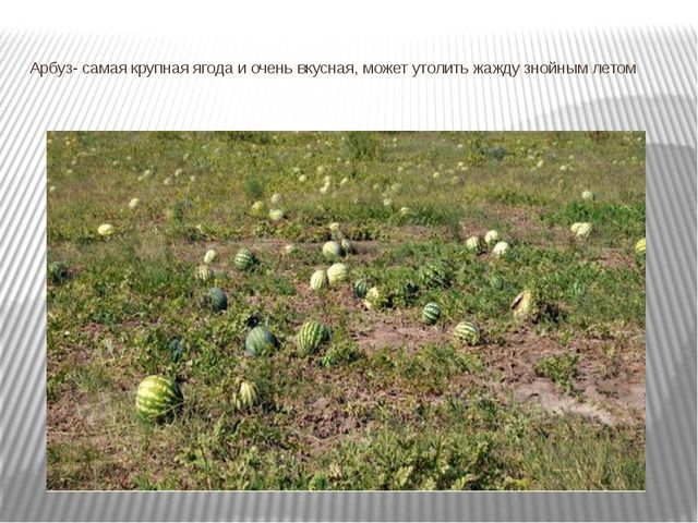 Арбуз- самая крупная ягода и очень вкусная, может утолить жажду знойным летом