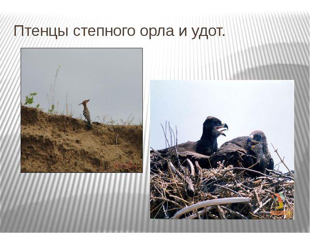 Птенцы степного орла и удот.