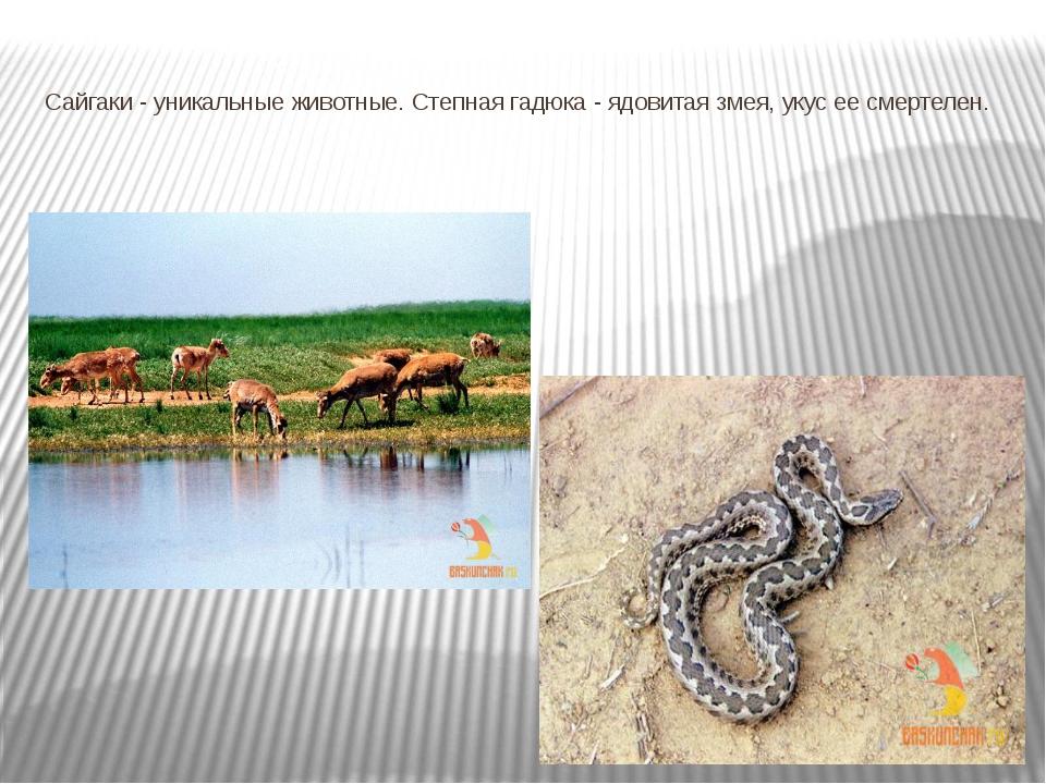Сайгаки - уникальные животные. Степная гадюка - ядовитая змея, укус ее смерте...