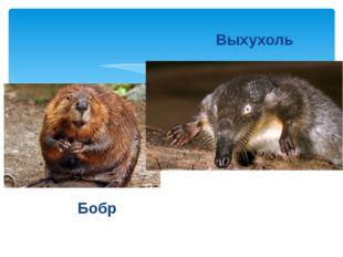 Бобр Выхухоль