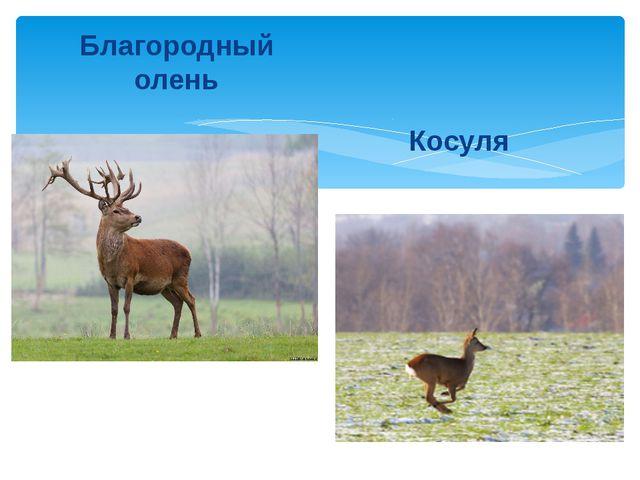 Благородный олень Косуля