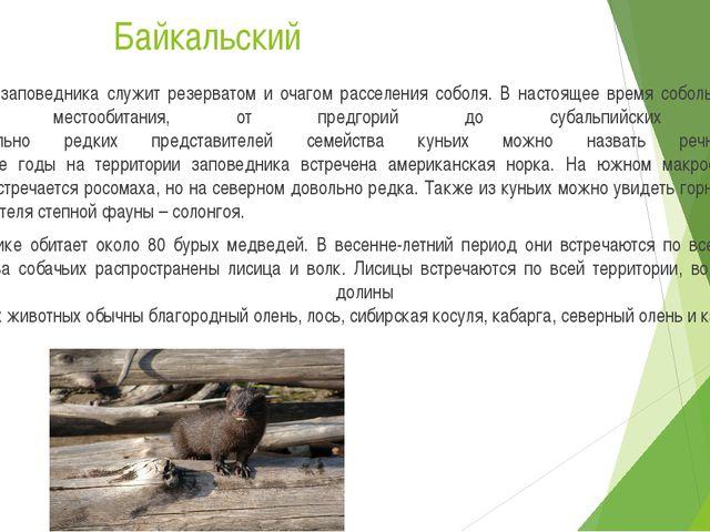 Байкальский Территория заповедника служит резерватом и очагом расселения собо...