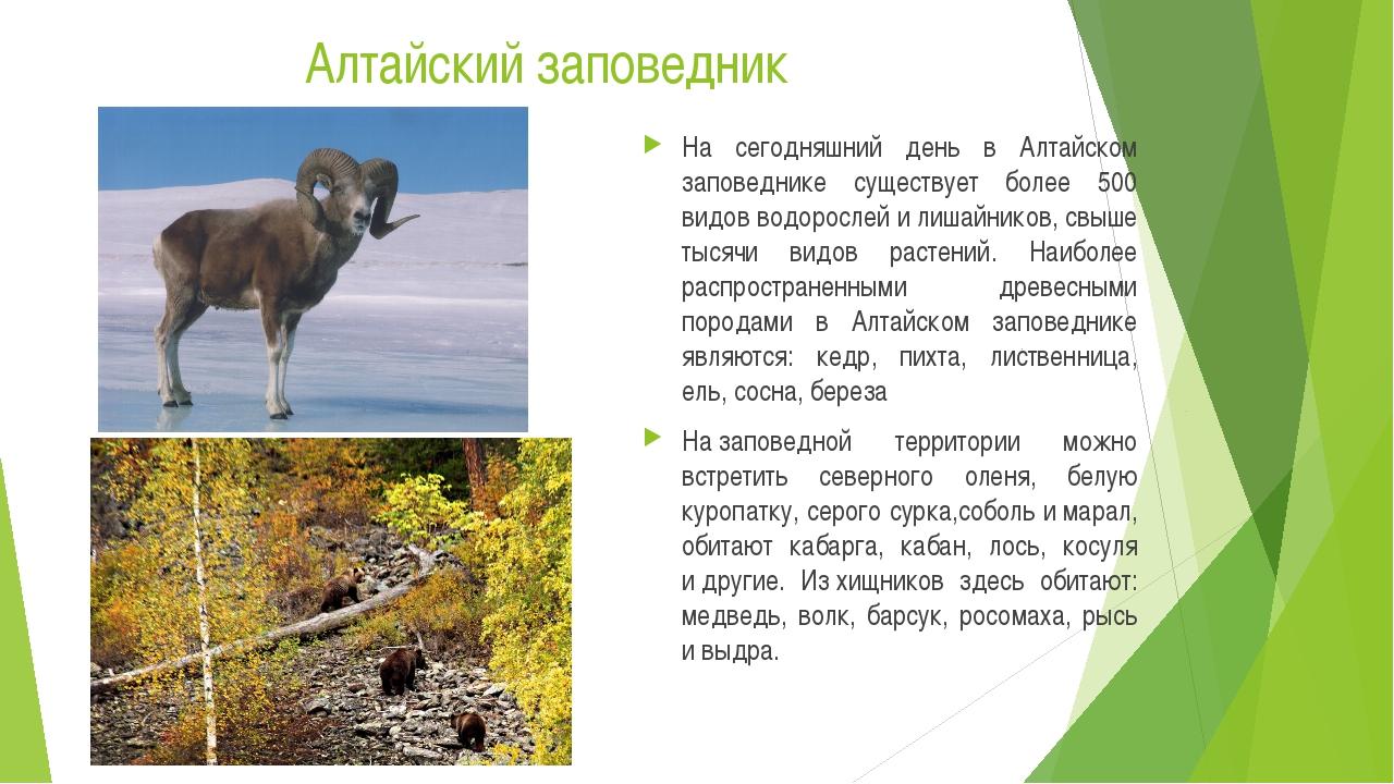 Алтайский заповедник На сегодняшний день в Алтайском заповеднике существует б...