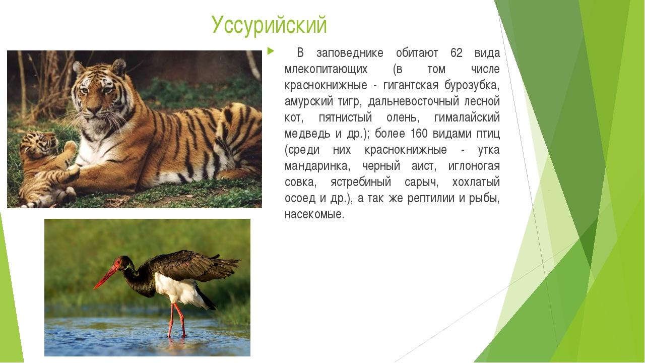 Уссурийский В заповеднике обитают 62 вида млекопитающих (в том числе краснокн...