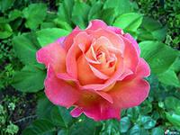 C:\Users\HP\Desktop\АРДАК\гулдер алемине саяхат\жас биолог\роза5.jpg