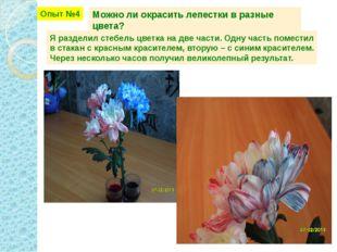 Опыт №4 Можно ли окрасить лепестки в разные цвета? Я разделил стебель цветка