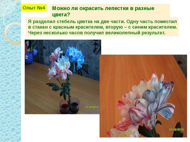 Опыт №4 Можно ли окрасить лепестки в разные цвета? Я разделил стебель цветка...