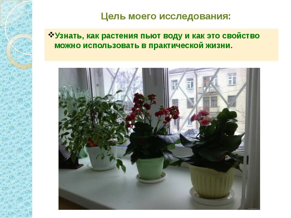 Цель моего исследования: Узнать, как растения пьют воду и как это свойство мо...