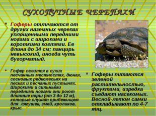 СУХОПУТНЫЕ ЧЕРЕПАХИ Гоферы отличаются от других наземных черепах уплощенными