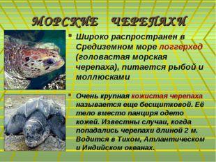 МОРСКИЕ ЧЕРЕПАХИ Широко распространен в Средиземном море логгерхед (головаста