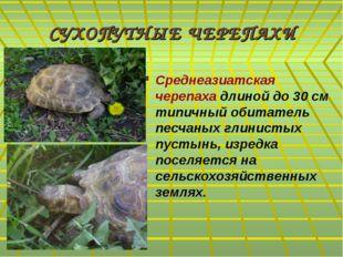СУХОПУТНЫЕ ЧЕРЕПАХИ Среднеазиатская черепаха длиной до 30 см типичный обитате