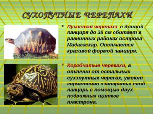 СУХОПУТНЫЕ ЧЕРЕПАХИ Лучистая черепаха с длиной панциря до 38 см обитает в рав