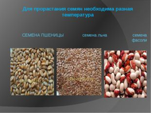 Для прорастания семян необходима разная температура СЕМЕНА ПШЕНИЦЫ семена льн