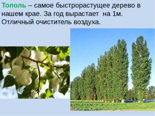 Тополь – самое быстрорастущее дерево в нашем крае. За год вырастает на 1м. От