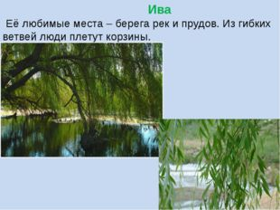 Ива Её любимые места – берега рек и прудов. Из гибких ветвей люди плетут кор
