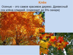 Клён Осенью – это самое красивое дерево. Древесный сок клёна сладкий. (содер